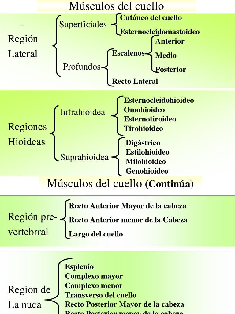 Magnífico Músculos Del Cuello Diagrama Composición - Imágenes de ...