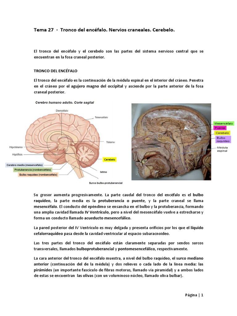 Encantador Anatomía Línea Wisc Ornamento - Imágenes de Anatomía ...