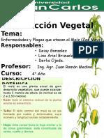 Maiz Enfermedades y Plagas.pptx