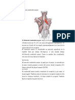 Músculo Romboides Mayor