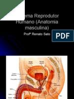 Biologia PPT - Sistema Reprodutor Humano (Anatomia Masculina)