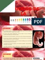Diapositivas Etapas Del Embrion 7 y 8 Sem