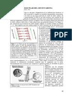 Estructura Molecular Del Gen Eucariota