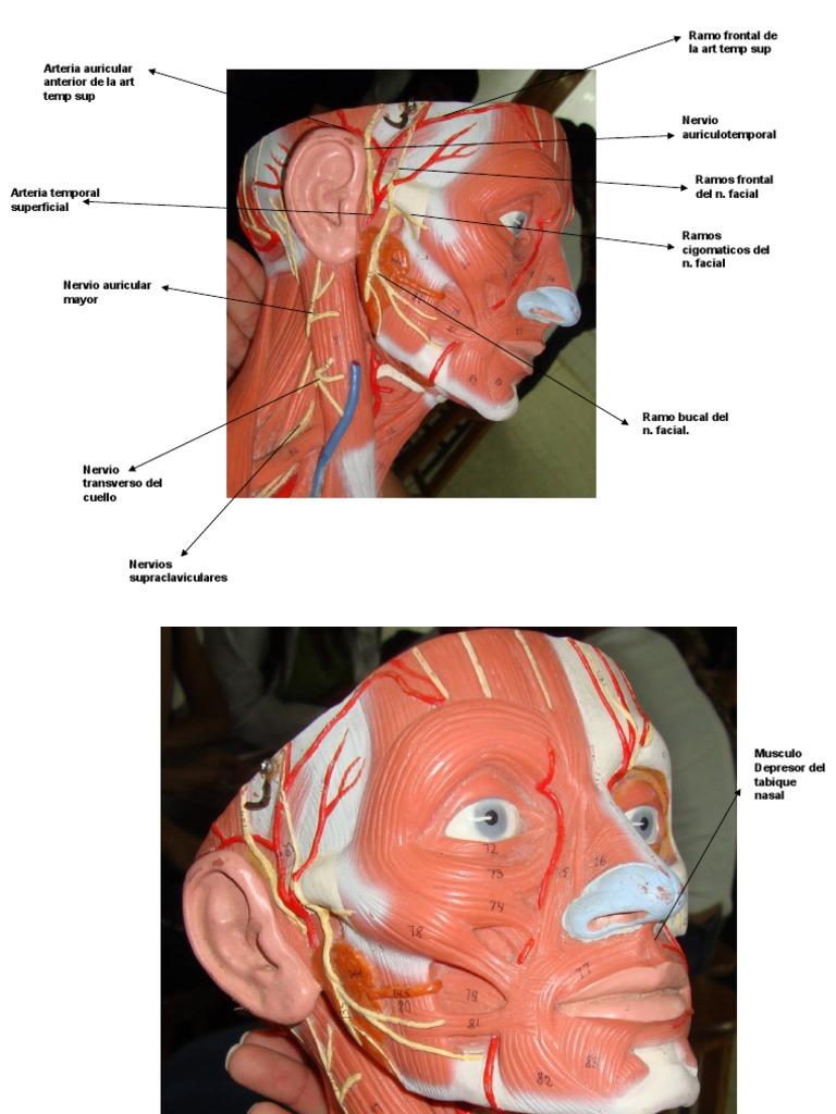 Cara, Musculos Superficiales y Arterias y Nervios