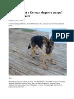 Should You Get a German Shepherd Puppy