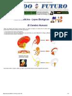 Nueva Medicina Germanica Hamer Cerebro Humano Corteza Funcion