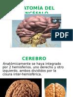1 Anatomia Del Cerebro