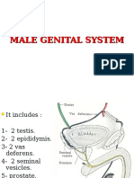 Male Genital System 2013