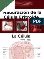 Maduración de la célula eritroide