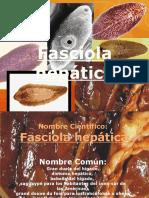 Fasciola hepática 8D