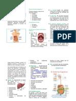 Sistema Digestivo Folleto