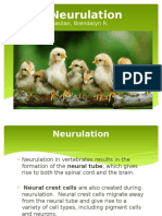 Chick Neurulation