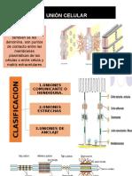 Unión Celular Histologia