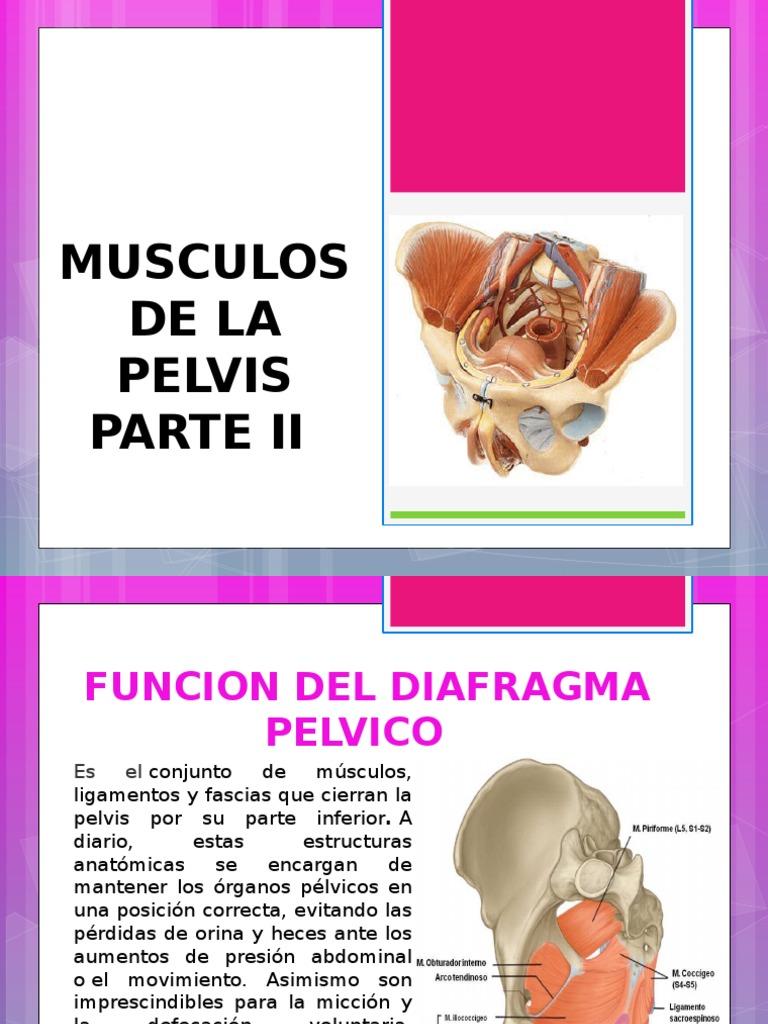 Diapositivas Musculos de Pelvis II