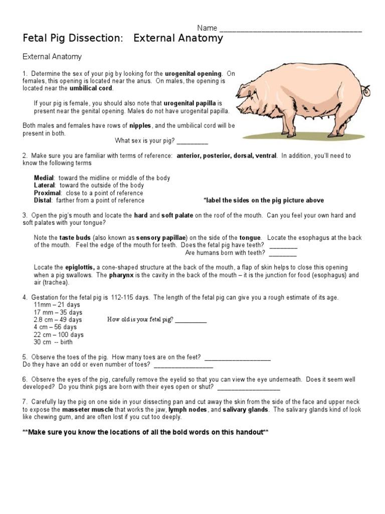 Fetal Pig Dissection | Aorta | Heart