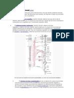 Clasificación Funcional del SNA (AUTONOMO)