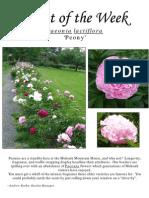 Paeonia lactiflora 6-2-10