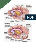 Cerebro Mio