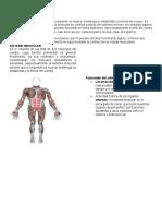 Sistema Muscular Actividades