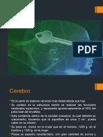 Cerebro  neuroanatomia