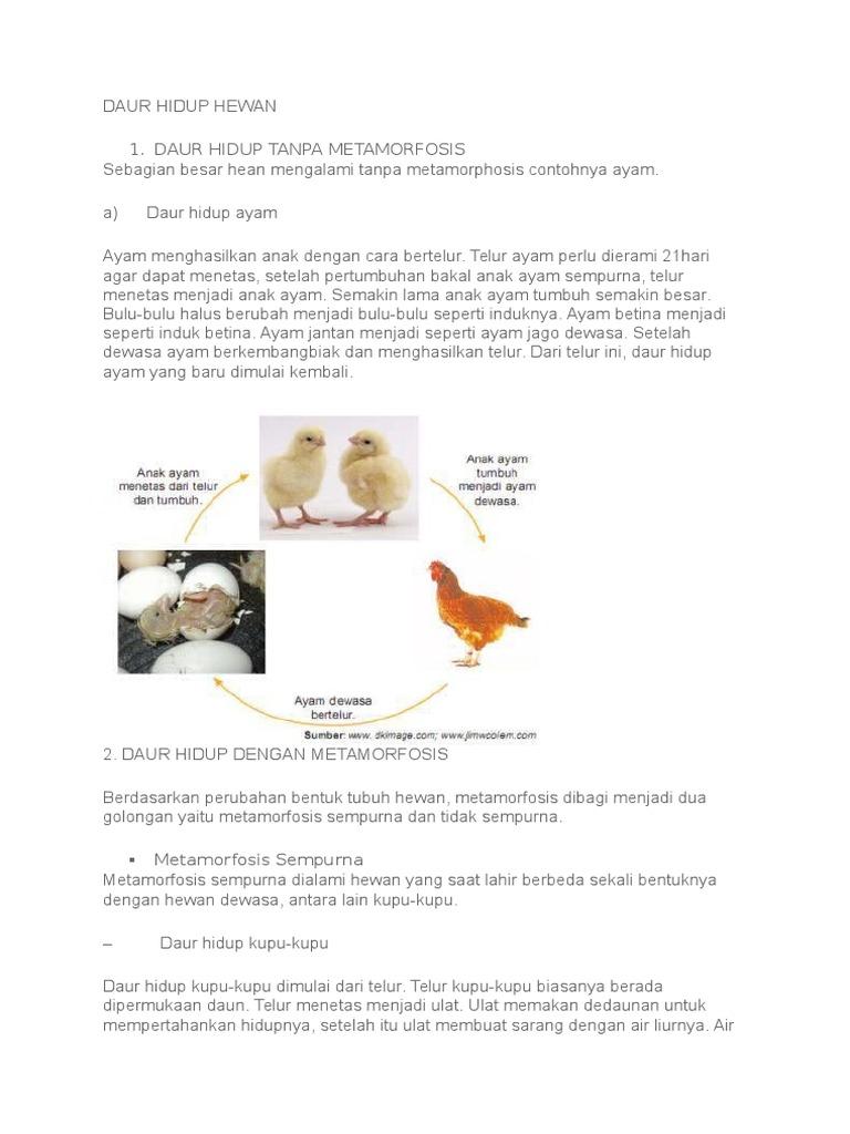 800+ Gambar Daur Hidup Hewan Ayam Gratis