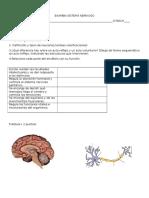 Anatomia Nervioso