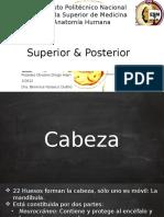 Cabeza Ósea Vista Frontal, Superior & Posterior