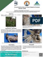 Presencia del músculo pectoralis tertius en tití gris (Saguinus leucopus Günther 1876)