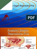 anatomi reproduksi pria.ppt