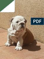 Bulldog;Faltas Ortográficas aprobadas por Buscadores como Google o Bing