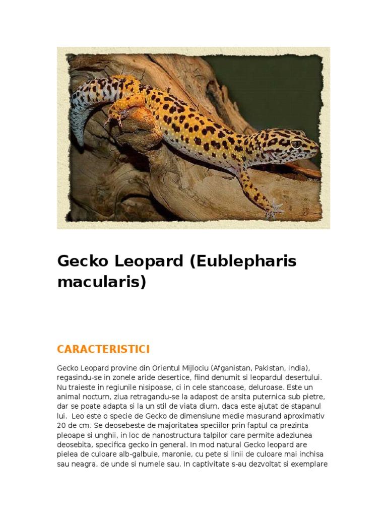 leopard gecko pierdere în greutate)