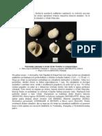 Nálezy stôp po útokoch dravých ulitníkov čeľade Naticidae na schránkach fosílnych mäkkýšov