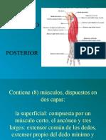Antebrazo Posterior