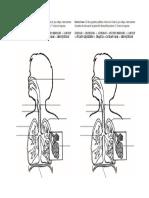 Sistema respiratorio sn.doc