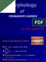Permanent Mandibular Canines