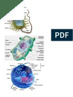 Tipos de Celula