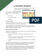 Erupción dentaria fases