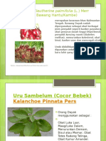 Bawang Dayak Eleutherine Palmifolia