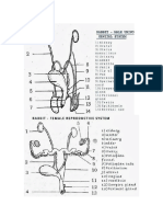 Sistemul Genital Al Iepurelui