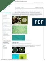 Mycology Online Trichophyton Verrucosum