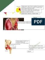 Músculo Miembro Inferior