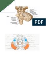 Anatomia Pares DibujosIrrigación Arterial