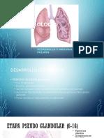 Embriología Pulmon