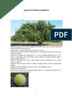 Maclura Pomifera ORG