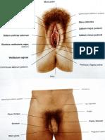 Gambar Anatomi Sistem Reproduksi