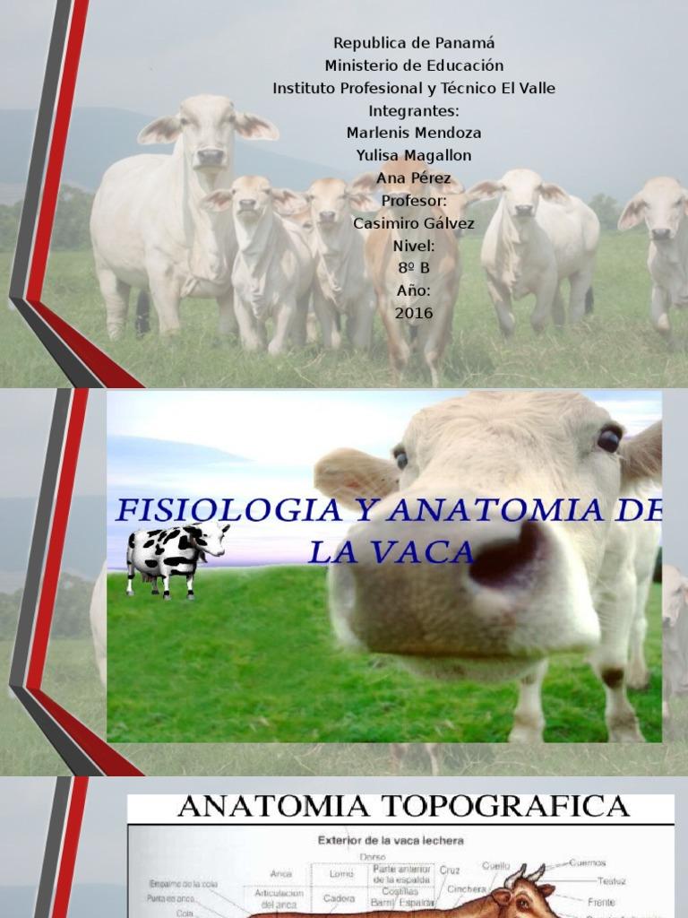 Anatomia de La Vaca