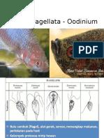 Flagellata - Oodinium