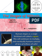 2 stages of mitosis