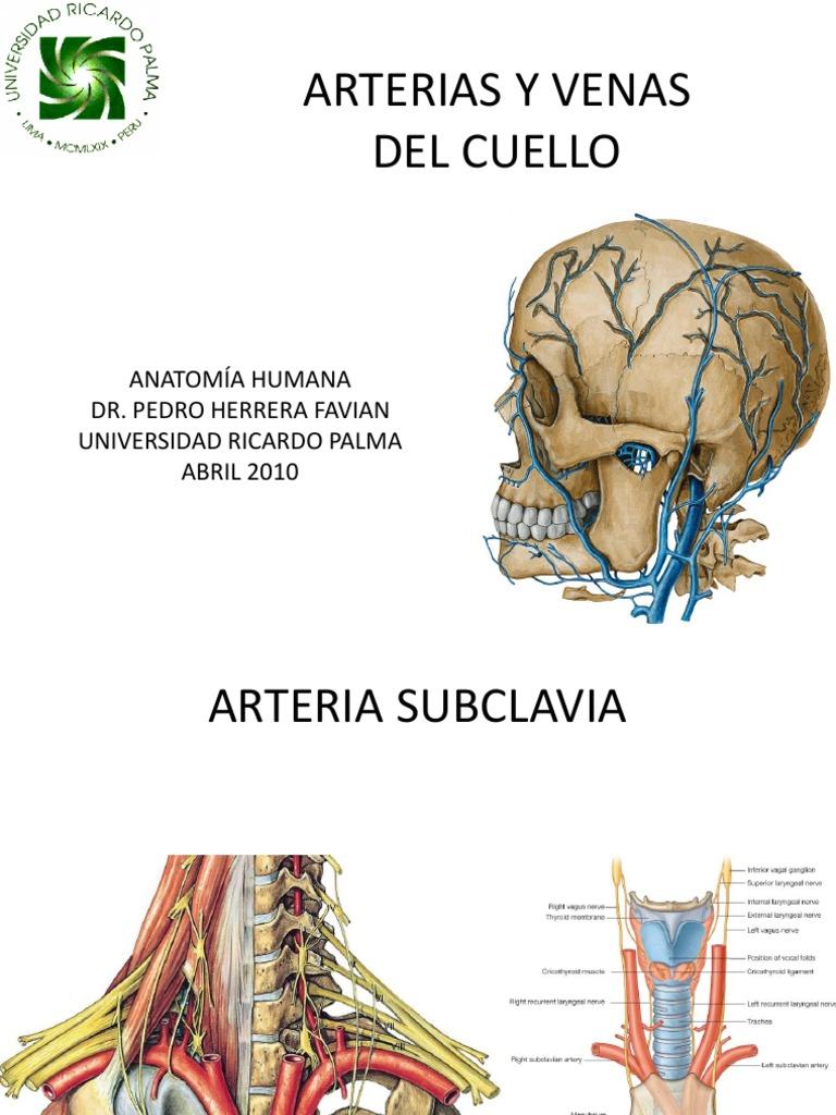 Clase 14 Arterias y Venas Del Cuello