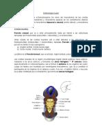 Embriología Cuello